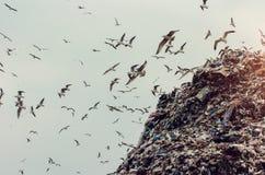 Zeemeeuwen op een stortplaatshoop Stock Afbeelding