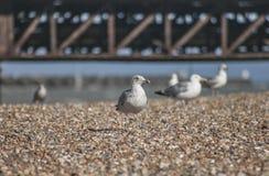 Zeemeeuwen op een strand in Brighton Stock Afbeeldingen