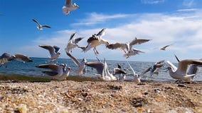 Zeemeeuwen op het kustclose-up, meeuwen die op het strand in een langzame motie eten stock video