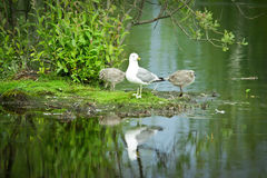 Zeemeeuwen op het meer Stock Fotografie