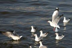 Zeemeeuwen op het overzees Stock Foto