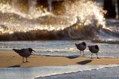 Zeemeeuwen op het Strand Stock Foto