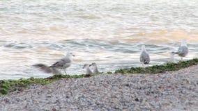 Zeemeeuwen op het strand stock videobeelden