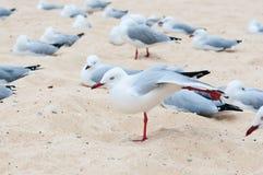 Zeemeeuwen op het strand Stock Foto's