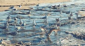 Zeemeeuwen op het strand Stock Afbeelding