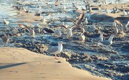 Zeemeeuwen op het strand Stock Fotografie