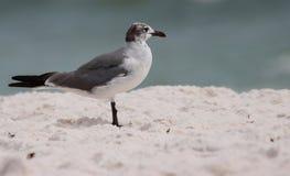 Zeemeeuwen op het strand, Florida royalty-vrije stock foto's