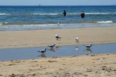 Zeemeeuwen op het strand in Frankston royalty-vrije stock foto's