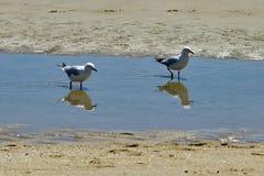 Zeemeeuwen op het strand in Frankston stock foto's