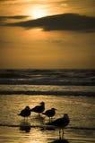 Zeemeeuwen op het strand worden gesilhouetteerd dat Stock Foto