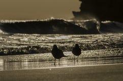 Zeemeeuwen op het zand Stock Afbeelding