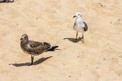 Zeemeeuwen op het zand bij Rehoboth-Strand Royalty-vrije Stock Fotografie