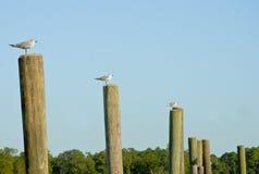Zeemeeuwen op houten polen. Stock Afbeeldingen