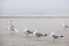 Zeemeeuwen op mistig strand Royalty-vrije Stock Afbeelding
