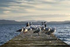 Zeemeeuwen op pier. Meer Rotoua, het Noordeneiland, Nieuw Zeeland Stock Foto's