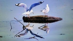 Zeemeeuwen op Rots Stock Afbeelding