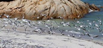 Zeemeeuwen op strand Stock Afbeeldingen