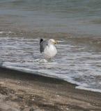 Zeemeeuwen op strandzand Stock Foto's