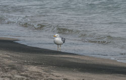 Zeemeeuwen op strandzand Royalty-vrije Stock Fotografie