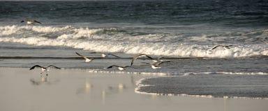 Zeemeeuwen in Outerbanks Noord-Carolina stock afbeelding