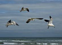 Zeemeeuwen over het Strand van Texas Stock Foto