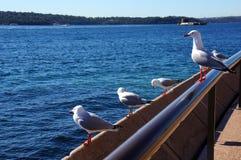 Zeemeeuwen in Sydney Stock Foto