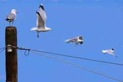 Zeemeeuwen tijdens de vlucht Royalty-vrije Stock Afbeeldingen