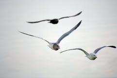 Zeemeeuwen tijdens de vlucht Royalty-vrije Stock Afbeelding