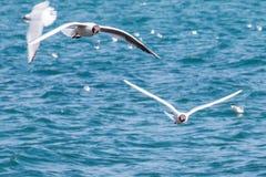 Zeemeeuwen tijdens de vlucht Stock Afbeeldingen