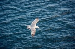 Zeemeeuwen tijdens de vlucht tegen de achtergrond van diepe blauwe overzeese golven stock foto