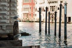 Zeemeeuwen in Venetië Royalty-vrije Stock Foto's