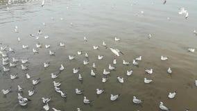 Zeemeeuwenmigratie bij toeristische attracties in Thailand stock videobeelden