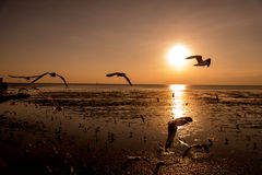 Zeemeeuwensilhouetten tijdens de vlucht op zonsopgang Stock Foto