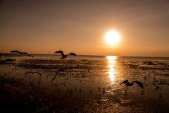Zeemeeuwensilhouetten tijdens de vlucht op zonsopgang Stock Afbeelding