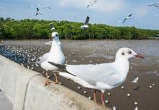 Zeemeeuwenvogel bij het overzees Bangpu Samutprakarn Thailand stock afbeeldingen