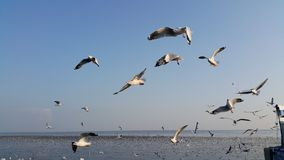 ZEEMEEUWENvogel EN BLAUWE HEMEL Stock Foto's
