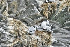 Zeemeeuwfamilie die in de rotsen in Hellnar, Snaefellsnes-schiereiland nestelen royalty-vrije stock afbeeldingen