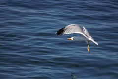 Zeemeeuwvlieg op het overzees, de zomer royalty-vrije stock fotografie