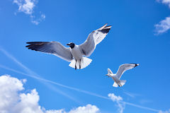 2 zeemeeuwvogel die in de blauwe hemel vliegen Royalty-vrije Stock Fotografie