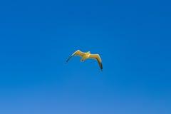 Zeemeeuwvogel die in de hemel vliegen Royalty-vrije Stock Foto's
