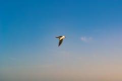 Zeemeeuwvogel die in de hemel vliegen Stock Fotografie