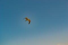 Zeemeeuwvogel die in de hemel vliegen Royalty-vrije Stock Afbeelding
