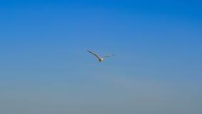 Zeemeeuwvogel die in de hemel vliegen Stock Afbeelding
