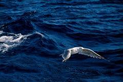 Zeemeeuwvogel die over het overzees vliegen Royalty-vrije Stock Afbeeldingen