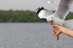 Zeemeeuwvogel die voedsel vliegen te eten van vrouw het voeden Stock Fotografie