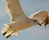Zeemeeuwvogel het vliegen Stock Foto
