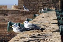 Zeemeeuwwacht de vesting van Essaouira, Marokko Essaouira is een stad in het westelijke Marokkaanse gebied op de Atlantische Ocea royalty-vrije stock afbeelding