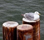 Zeemeeuwzitting bij zich het opstapelen Stock Foto