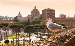 Zeemeeuwzitting op de ruïnes van de Markt van Trajan in Rome bij sunse Stock Afbeeldingen