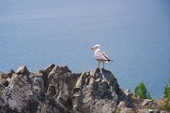 Zeemeeuwzitting op een rots op de rand van de berg Mening van de grootste bron in de volledige Kaukasus - Meer Sevan Gegharkunik Royalty-vrije Stock Afbeelding
